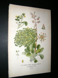 Step 1897 Antique Botanical Print. A) London Pride,  Huleii